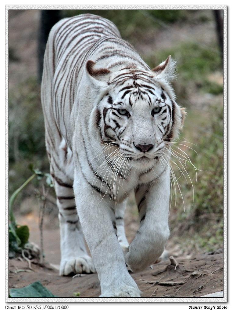 凶猛白老虎图片大全图片下载分享;